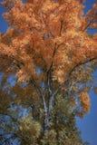 Colori di autunno delle foglie su un albero immagini stock libere da diritti