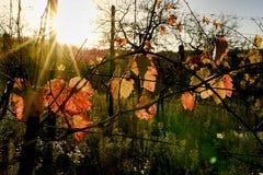 Colori di autunno delle vigne Fogli di autunno variopinti Vigne di autunno ad alba Immagine Stock Libera da Diritti