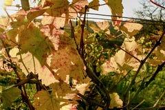 Colori di autunno delle vigne Fogli di autunno variopinti Autumn Vineyards Fotografie Stock Libere da Diritti