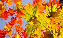 Colori di autunno, foglie di Acer Fotografia Stock Libera da Diritti