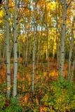 Colori di autunno nella foresta della tremula nel Yukon Immagine Stock