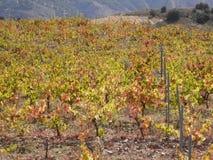 Colori di autunno in vigna spagnola Fotografia Stock