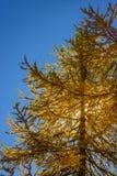 Colori di caduta in alta montagna Fogliame di autunno degli alberi di larice con cielo blu come spazio della copia e del fondo Fotografia Stock