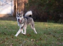 Colori di caduta e del husky siberiano fotografie stock