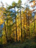 Colori di caduta vicino a Tamins, Graubuenden, Svizzera Immagine Stock