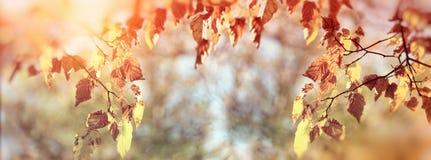Colori dorati delle foglie di autunno sul ramo dell'albero in foresta Immagine Stock
