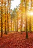 Colori dorati stupefacenti di autunno nella pista del sentiero nel bosco tabella variopinta della zucca dell'accumulazione di aut Fotografia Stock Libera da Diritti