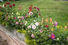 colori e varietà differenti di crisantemi Fotografia Stock