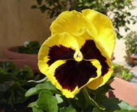 Colori gialli della viola del fiore della pansé e marroni tricolori fotografia stock libera da diritti