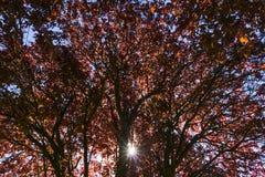 Colori l'albero di mogano, lasciante i raggi del Sun fotografia stock libera da diritti