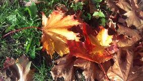 Colori luminosi dell'autunno Foglie ingiallite Erba verde L'autunno è venuto immagine stock