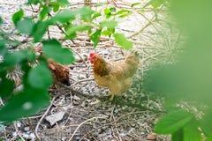 Colori marroni del pollo che camminano sull'erba Immagini Stock Libere da Diritti