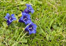 Colori reali dei fiori alpini Fotografie Stock