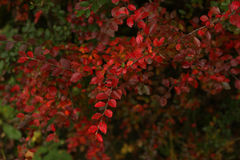 Colori rossi dell'autunno Immagini Stock