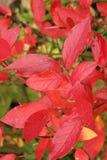 Colori rossi dell'autunno Immagine Stock