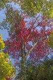 Colori rossi nella foresta di caduta fotografia stock