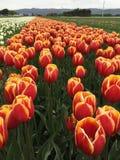 Colorido archivado de tulipanes Fotografía de archivo