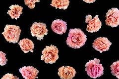 Colorido da flor Este é um oleracea do portulaca Suas flores são arranjadas na cor do inclinação Bonito fotografia de stock