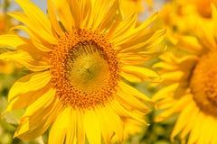 Colorido das flores, fim acima do tiro do backgroun das sementes de flor de Sun imagens de stock