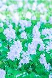 Colorido das flores violetas de floresc?ncia no nascer do sol, jacinto de ?gua comum na flor Jacinto de água na flor completa fotografia de stock