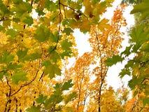 Colorido das folhas de outono no ramo Natureza da cor da folha que muda do verde ao fundo amarelo, alaranjado e vermelho imagens de stock royalty free