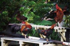 Colorido de gallo o de gallo de lucha Imágenes de archivo libres de regalías