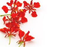 Colorido de la cresta del pavo real deja las flores o el pulch del Caesalpinia Imagen de archivo