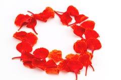 Colorido de la cresta del pavo real deja las flores o el pulch del Caesalpinia Imagenes de archivo