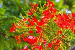 Colorido de la cresta del pavo real florece o pulcherrima del Caesalpinia ( Foto de archivo
