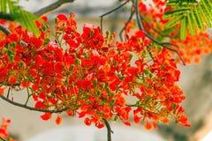 Colorido de la cresta del pavo real florece o pulcherrima del Caesalpinia ( Imagen de archivo