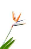 Colorido de la flor de la ave del paraíso Fotografía de archivo