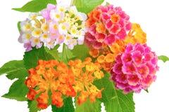 Colorido de la flor del camara del Lantana con descensos Fotografía de archivo