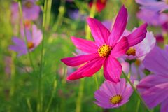 colorido de la flor del cosmos en el jardín Fotografía de archivo
