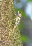 Colorido de lagarto oriental del jardín en rama Fotografía de archivo libre de regalías