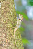 Colorido de lagarto oriental del jardín en rama Imágenes de archivo libres de regalías