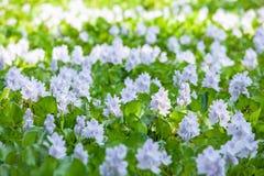 Colorido de las flores violetas florecientes en la salida del sol, jacinto de agua com?n en flor El jacinto de agua en la plena f imágenes de archivo libres de regalías