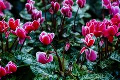 Colorido del flor floral consista en el tulipán, la orquídea, Lilly, el ciclamen y otros imagenes de archivo