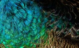 Colorido del ` s del pájaro del Peafowl verde empluma Fotos de archivo