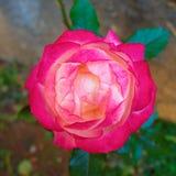 Colorido escoja el primer color de rosa en el jardín imagen de archivo libre de regalías