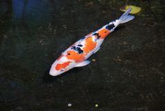 Colorido - natación negra anaranjada blanca del koi en la charca imágenes de archivo libres de regalías