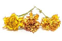 Colorido preservado tres claveles Imagen de archivo libre de regalías