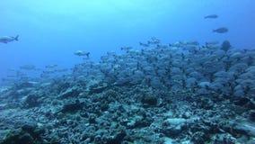 Colorido seaded en el coralreef Pescados hermosos en mundo del underwoter Paisaje brillante del bot?n del mar por completo de col metrajes
