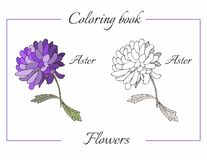Coloring book with beautiful aster flower. Stock Photos