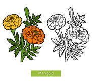Coloring book, flower Marigold Stock Photography