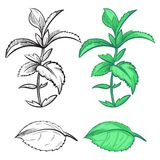 Coloring hand drawn mint plant and leaf with colorful samples. Herb mint plant, green spice leaf, vector illustration stock illustration