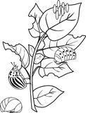 Coloring page. Different stages of development of Colorado potato beetle or Leptinotarsa decemlineata on damaged potato leaf. Coloring page with different stages stock illustration