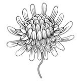 Coloring page with Etlingera flowers, Torch Ginger, Philippine W royalty free illustration