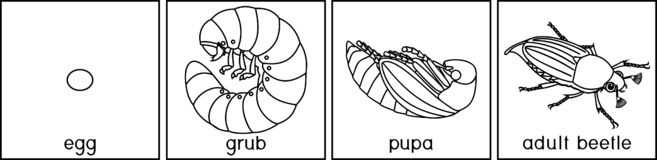 Life cycle of cockchafer. Sequence of stages of development of cockchafer Melolontha sp. from egg to adult beetle. Coloring page with life cycle of cockchafer vector illustration