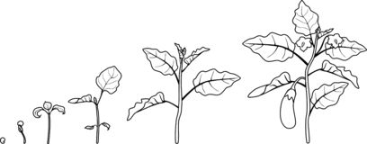 Coloring page. Life cycle of eggplant. Growth stages from seeding to flowering and fruit-bearing aubergine plant. Isolated on white background royalty free illustration