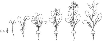 Free Coloring Page. Stages Of Radish Growth From Seed And Sprout To Flowering And Fruit-bearing Plant Stock Photos - 124949533